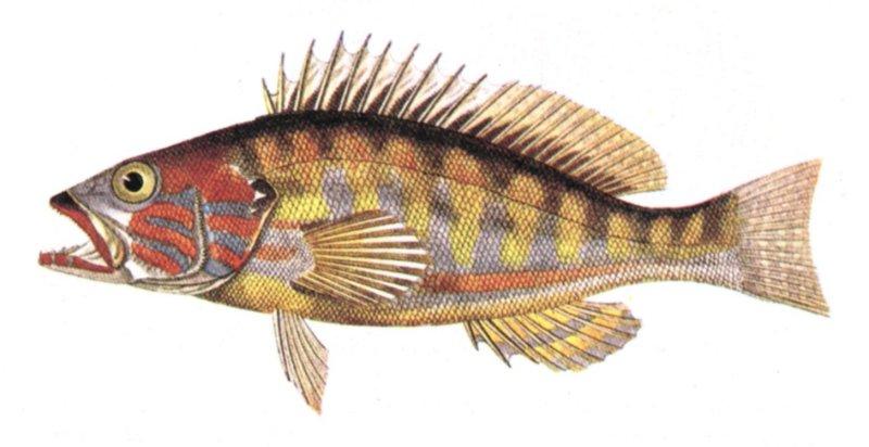 http://www.agrino.org/fishing/photos/saltfish/hannos.jpg